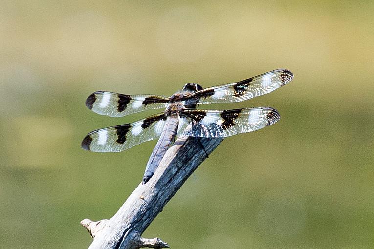 _DSC1137 Twelve-spotted Skimmer Dragonfly