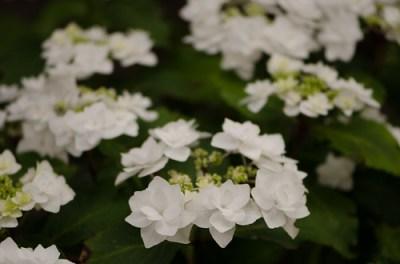 lacecap white hydrangea