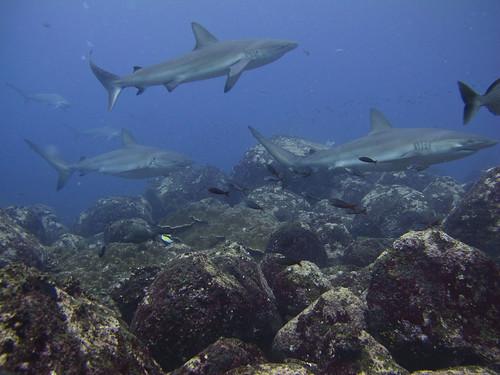 Silky Sharks