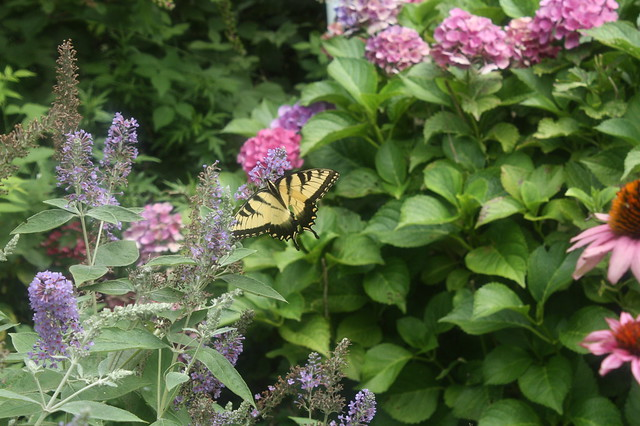 Swallowtail in the Catmint