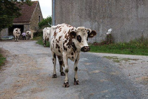 A dairy cattle