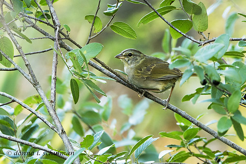 TX: Olive Sparrow