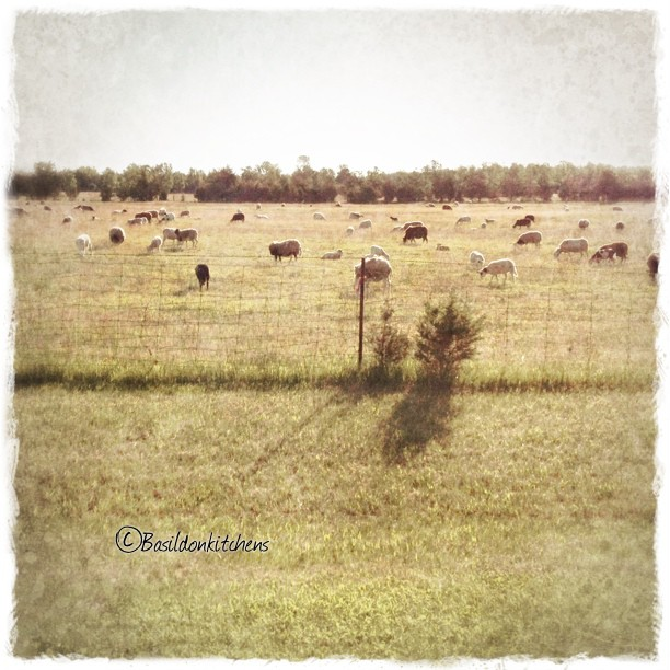 June 5 - environment {this is mine; one if the many farms, thus one is a sheep farm} #TitleFx #princeedwardcounty #fmsphotoaday #sheep #farm