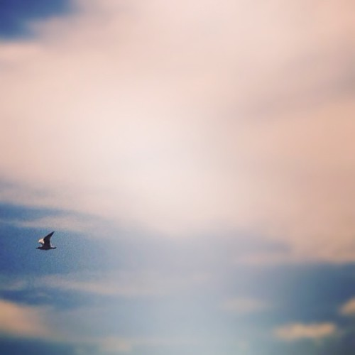 #seagull over #sydney #australia by @MySoDotCom