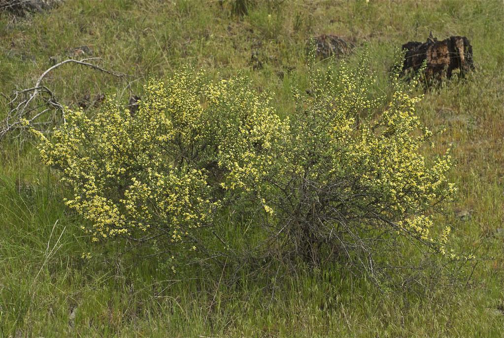antelope bitterbrush, antelope-brush
