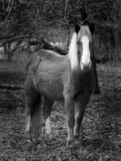 Pony in the New Forest