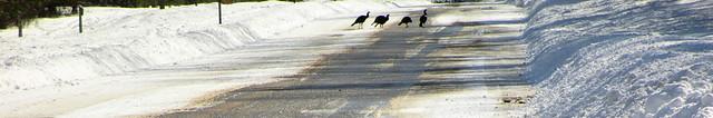 IMG_5428 Wild Turkey Header
