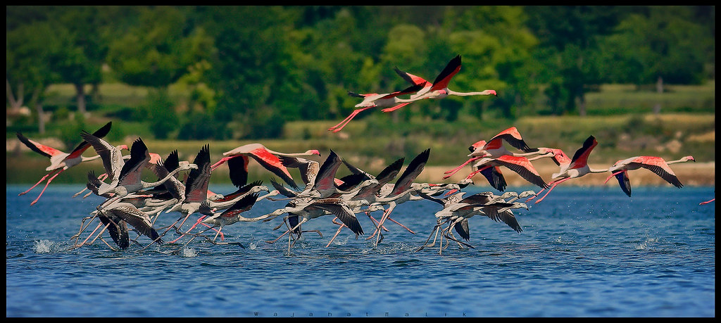 Flamingo's run to take off