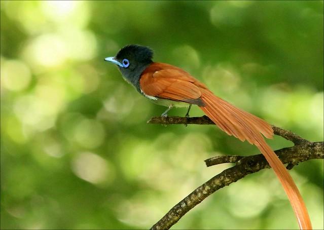 Paradysvliëvanger, Paradise Flycatcher - part 2