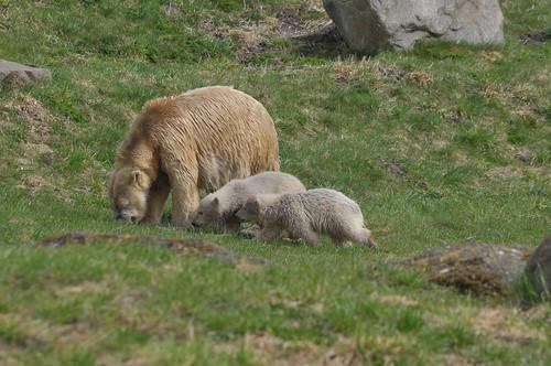 Eisbärin Ilka mit ihren beiden Jungtieren im Skandinavisk Dyrepark in Kolind