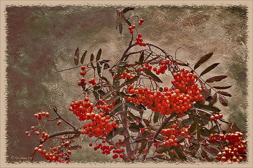Red berries on a texture image