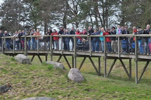 Wolfsfütterung  im Skandinavisk Dyrepark in Kolind