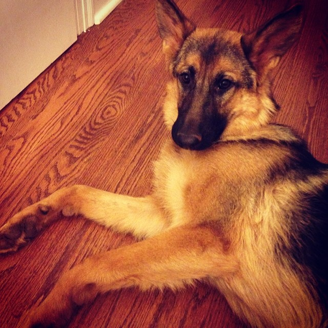 So seductive. #ediebaby #germanshepherd