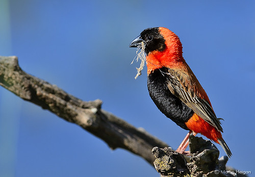 Southern Red Bishop by Martin_Heigan