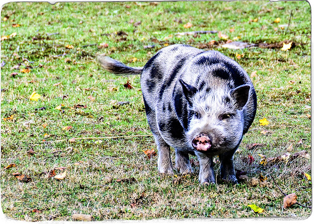 A Friendly Spotted Pig