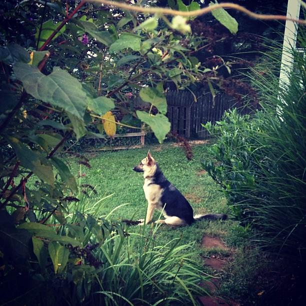 Secret garden shepherd. #gsd #backyardliving