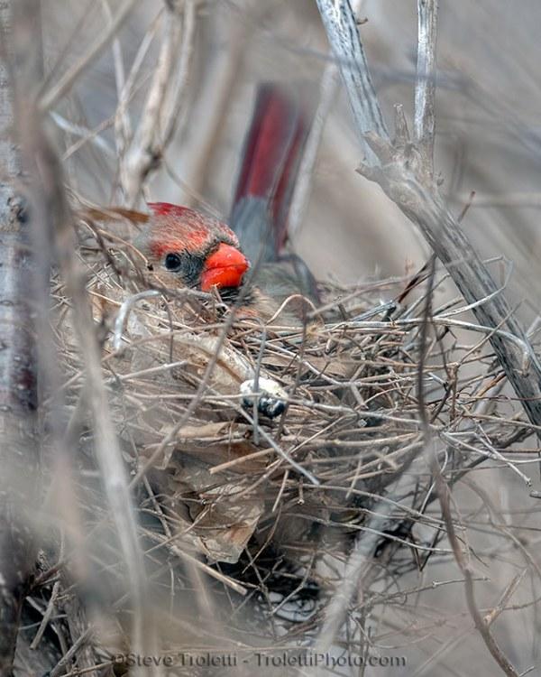 La femelle cardinale rouge déjà au nid - Parc-nature de l'Ile-de-la-Visitation