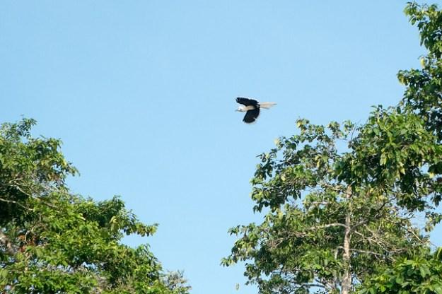 White-crowned hornbill. Kinabatangan