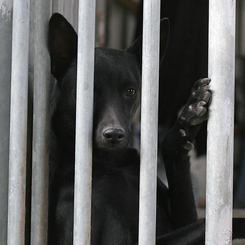 20131223 Black Taiwan dog