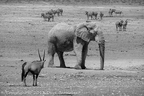 White Elephant, Kudu and Zebra (mono)