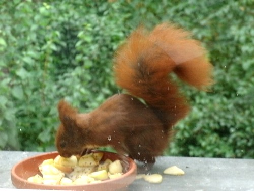 Hörnchen mag Apfel