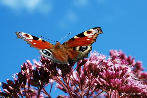 Perhonen | Butterfly