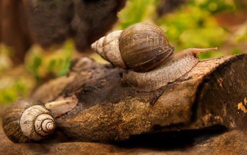 • Giant Snails •