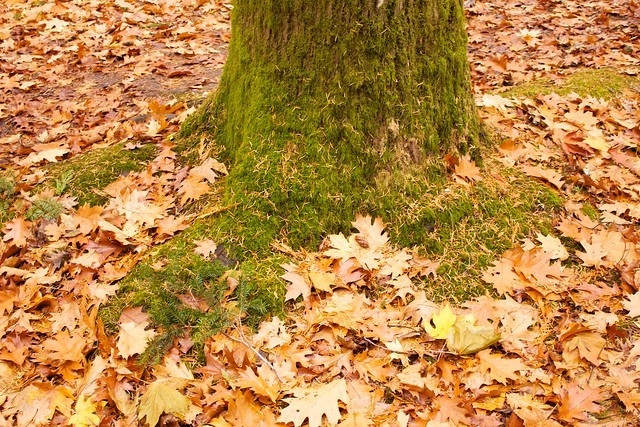 Base of Moss Covered Tree with Orange Leaves