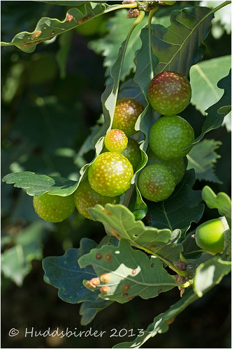 Oak Cherry Gall