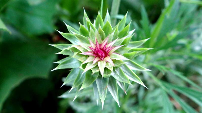 DSC03662 thistle bud,  busch 200713