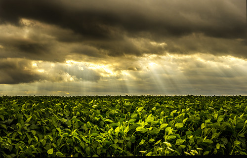 Field of Beans by jumpinjimmyjava