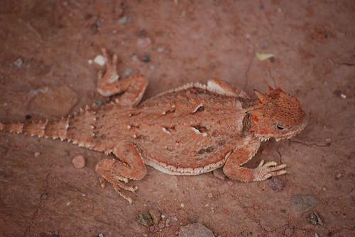 desert horned lizard at Lee's Ferry
