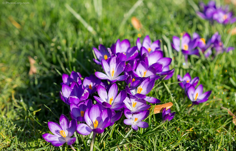 crocus vernus, branduse, primavara, spring