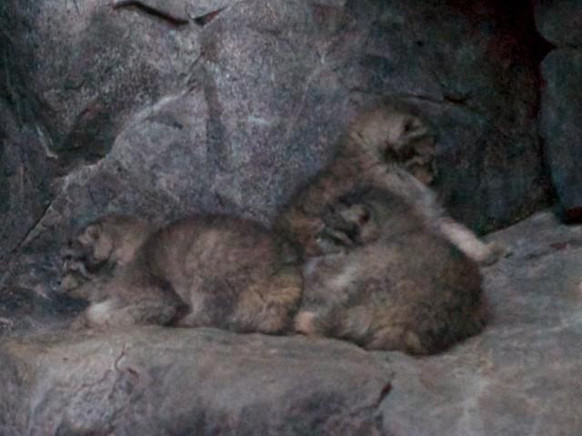 Pallas' Kitten Cuddle Puddle 2