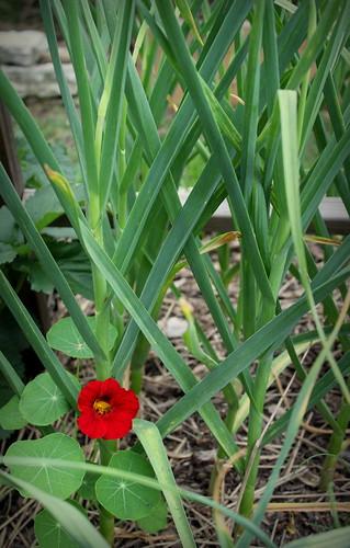 20130607. Nasturtium and garlic.