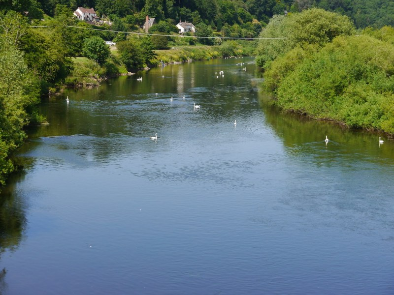Swans in the Wye