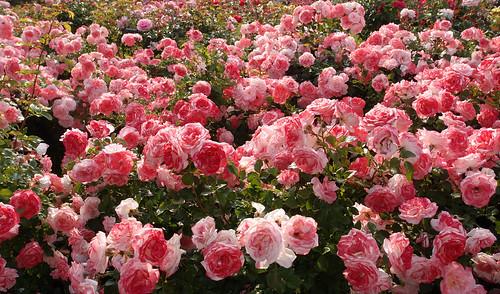 Rose, Sakura-Gasumi (Misty Cherry blossoms), バラ, 桜霞(さくらがすみ),