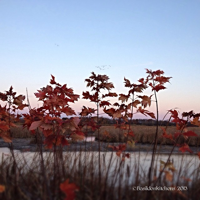 Oct 26 - depth if field {young maples at the edge of the marsh} Can you see the geese in the distance?  #fmsphotoaday #depthoffield #fall #autumn #marsh #geese