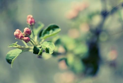 empire apple tree blossoming 4/4 2013
