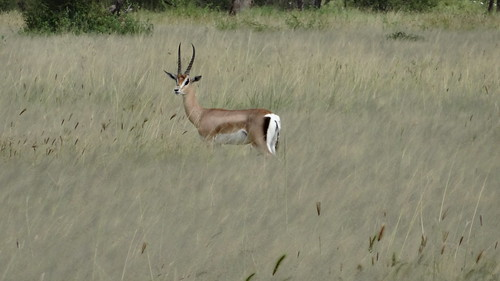 Gazelle in a sea of grass