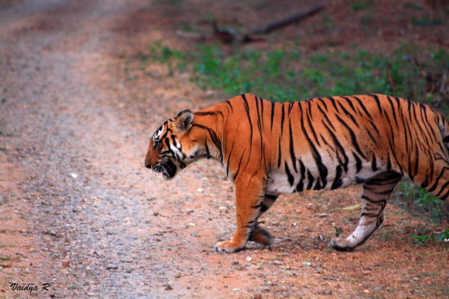 Tiger crossing the path