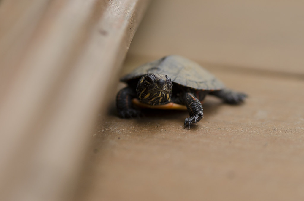 baby turtle 3
