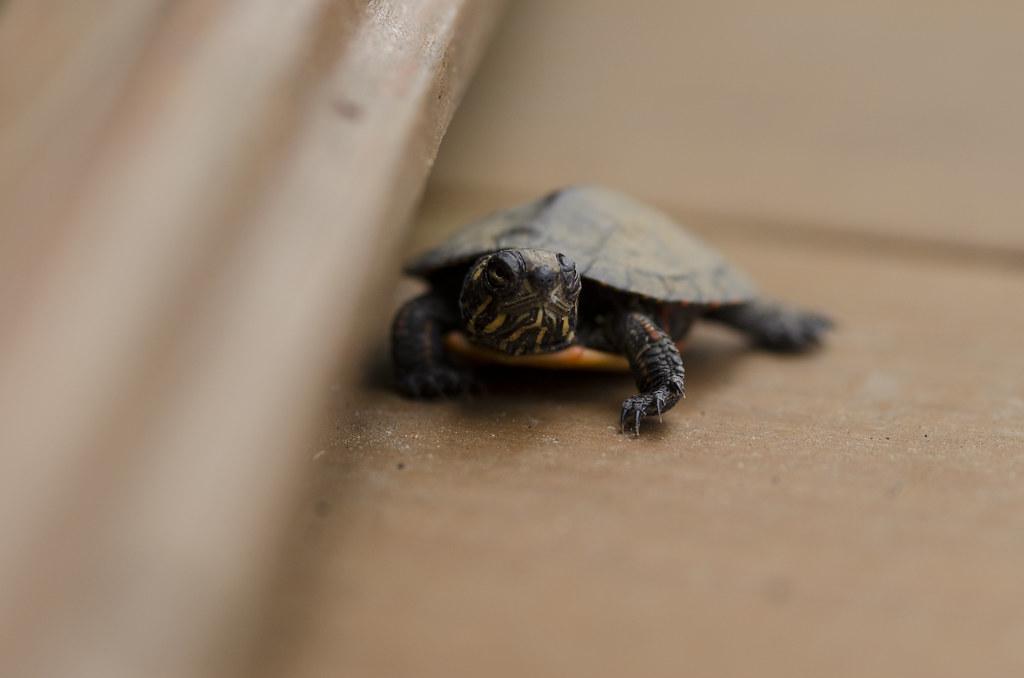 baby turtle 3