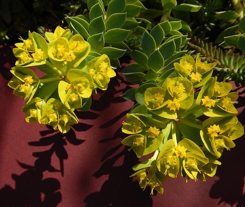 Euphorbia with Yellow Bloom