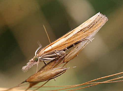 Agriphila tristella Tophill Low NR, East Yorkshire August 2013