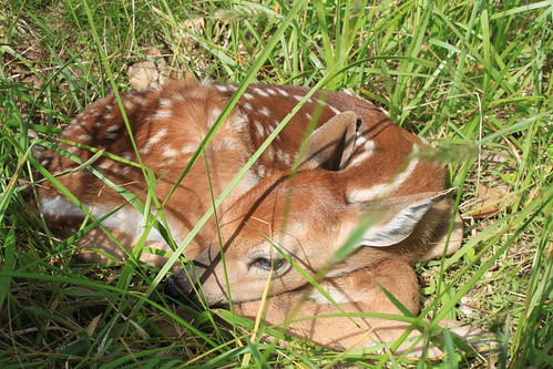 Memorial Day 2013 - Fawn