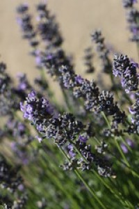 Flea treatments for cats - Lavender Farms 07072013 042 - Copy