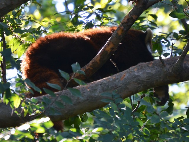 Dozing Red Panda