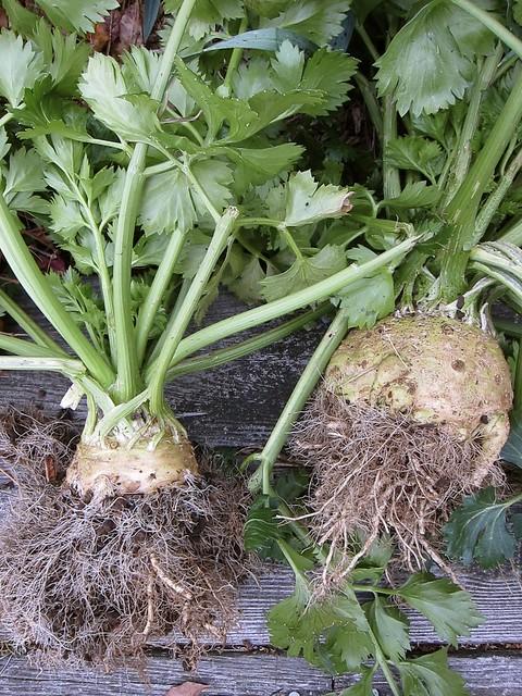 11.18.13 Planting Garlic