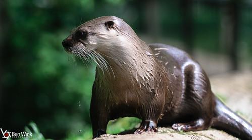 Otter dribble